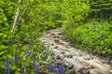 ** 75.7(OP) - Oil:  Schroeder Lupine Creek -- Photograph With Oil Paint Effect