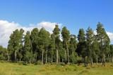Waikato Trees