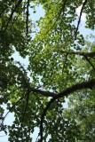 Te Kauwhata trees.
