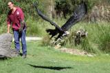 Healsville Sanctuary, Melbourne..Australian Eagle.