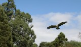 Australian Eagle.