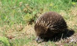 Echidna ..walking along the side of the road in Tasmania.
