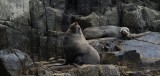 Although in Tasmania.. these are New Zealand Sea Lions.