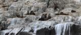 Australian Seals.... South Coast - Tasmania