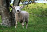 Ralph the lamb