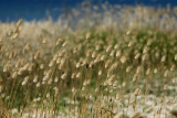 Grasses on the beach...