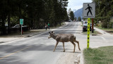 Elk crossing the road in Banff....in just the right place.