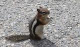 Chipmunk in Banff.