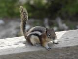 Chipmunk in Banff