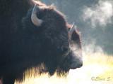 Pair of bisons