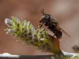 Fly or Bee 2.jpg