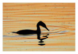 Grebe bathing in a sea of gold....