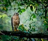 Red shoulder hawk in my back yard