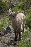 Baby Bighorn 0551.jpg