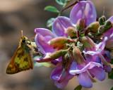 Moth & Blossom