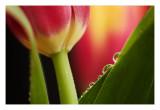 Tulip dew bubbles....