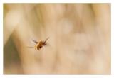 Bee Fly flying...