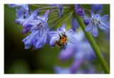 Agapanthus,  Bee....C?