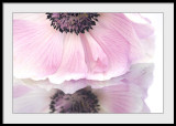 Anemone in the looking glass..