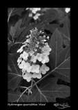 125:366Hydrangea quercifolia 'Alice'