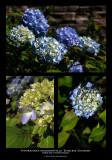 143:366Hydrangea macrophylla