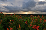 Lilies with Storm Clouds