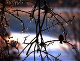 Winter Scene with Cardinal