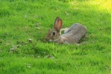 Wild rabbit lying in a hollow