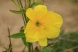 Evening primrose, Perranporth sand dunes