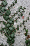 Ivy on an old wall
