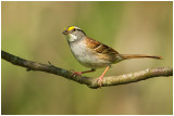 Bruants / Sparrows