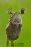 Escarabajo sanjuanero (Melolontha melolontha)