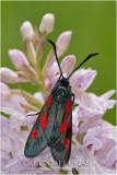 Zygaena nevadensis