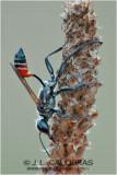 Avispa excavadora (Prionyx kirbii)