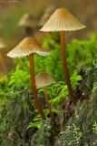 Mycena inclinata