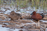 Cinnamon Teal, pair
