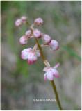 Pink Wintergreen