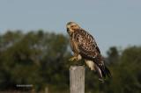 Swainson's Hawk, juvenile