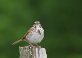 Brant chanteur,  Song Sparrow