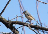 Mésange bicolore, Tufted Titmouse