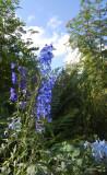 Ridderspore - Delphinium