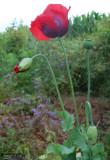 Poppy / Valmue