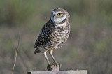 Burrowing Owls of Cape Coral, Florida