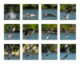 Osprey Composite