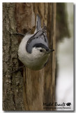 Sitelles - Nuthatches