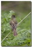 Tyran huppé - Great Crested Flycatcher