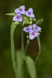 Spiderwort Double