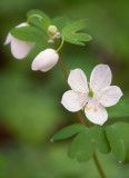 False Rue Anemone 2012