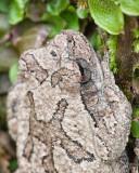 Common Gray Treefrog and Liverwort