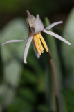 Trout Lily 2012